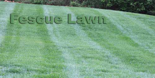 Fescue Lawn from a distance in Nashville