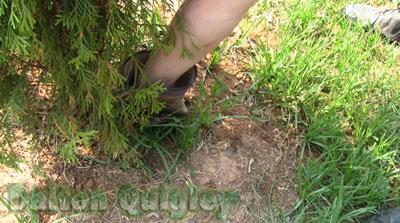 Nutt Sedge and Crab grass